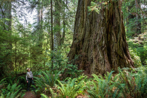 Grove of Titans, Jedediah Smith Redwoods State Park, CA